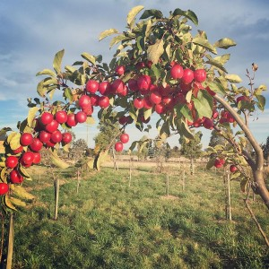 An archway of crab apples with the baby food foresthellip