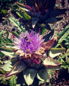 Have come to the conclusion that artichoke flowers are inhellip