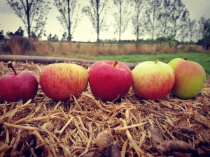 The 5 apple varieties our CSA members had from TheFoodFarmhellip