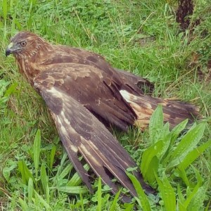 Found this beautiful New Zealand hawk Khu under the netshellip