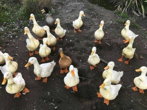 LOVE this photo of our ducks by our Wwoofer katecrockett!hellip