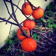 Food Farm Persimmons