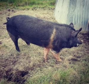 The newest member of TheFoodFarm This Hampshire boar has justhellip