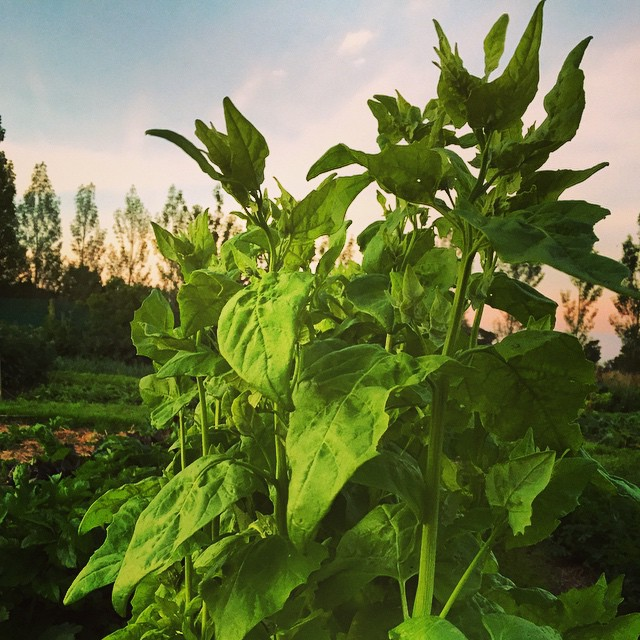 It is hard to capture the greenness of this ocra. It almost glows, it has the most beautiful flowers, it's delicious and that's almost a @lorettaoncuba chicken on the top! One of my favourite #FoodFarm vegetables.