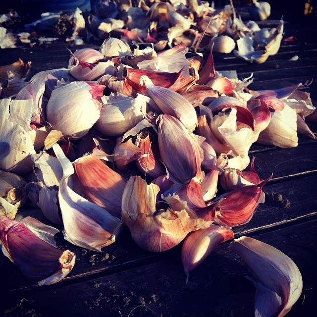 #Garlic cloves ready to plant. We're about six weeks behind normal planting time because the ground has been so wet. Let's hope Mother Nature is feeling forgiving! #FoodFarm #GrowingFood