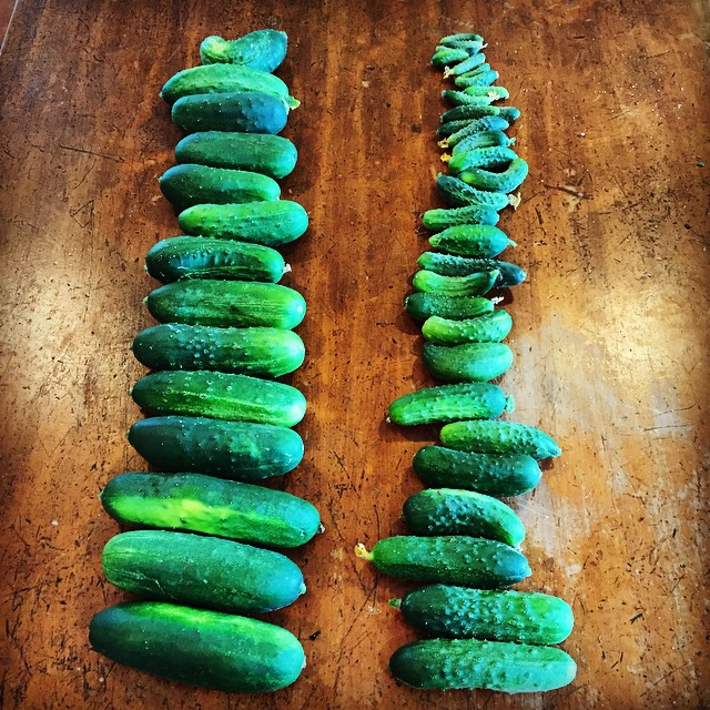 Today's pick of gherkins. Grading for cornichons, dill pickles, bread & butter pickles and cow food! #CurcubitOverAchievers #FoodFarm
