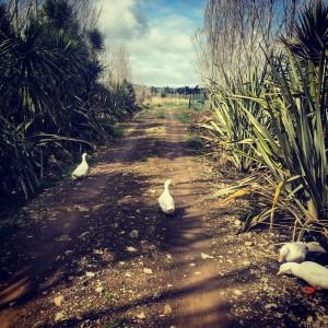 Blue sky break on The Food Farm enjoyed by our Pekin ducks.