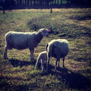 East Fresian Sheep