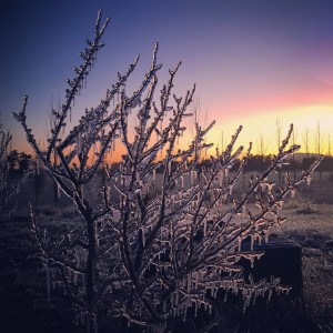 Frost sprinklers create an icy wonderland in The Food Farm Orchard. Sept 2015
