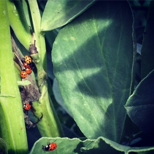 A Ladybird Army