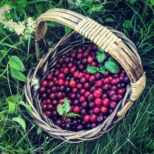 Waipara Gorge wild plums