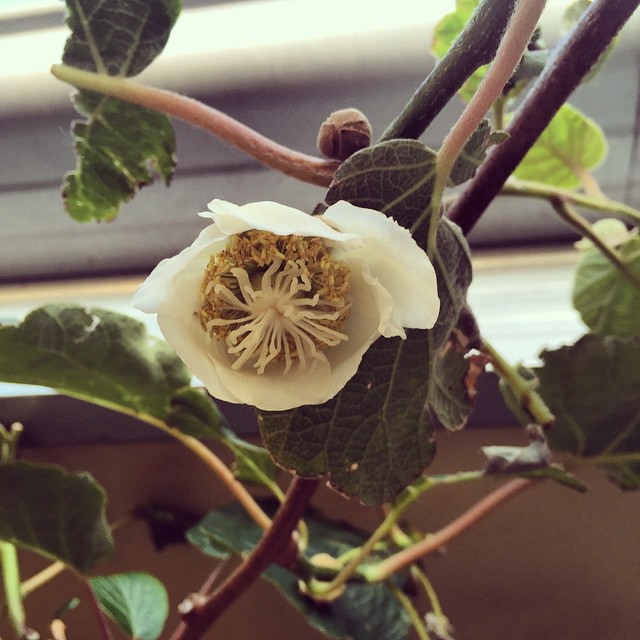 #Kiwifruit flower. I can see how that all works out! #FoodFarm #Spring