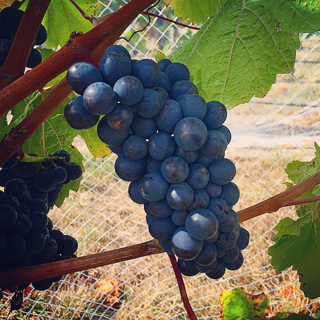 Our babies. #Cabal vineyard Pinot Noir, clone 115. Only days til picking, #Vintage15 is about to start for us. Palpable increase in adrenaline, energy and resolve. #NZWine #NZV15