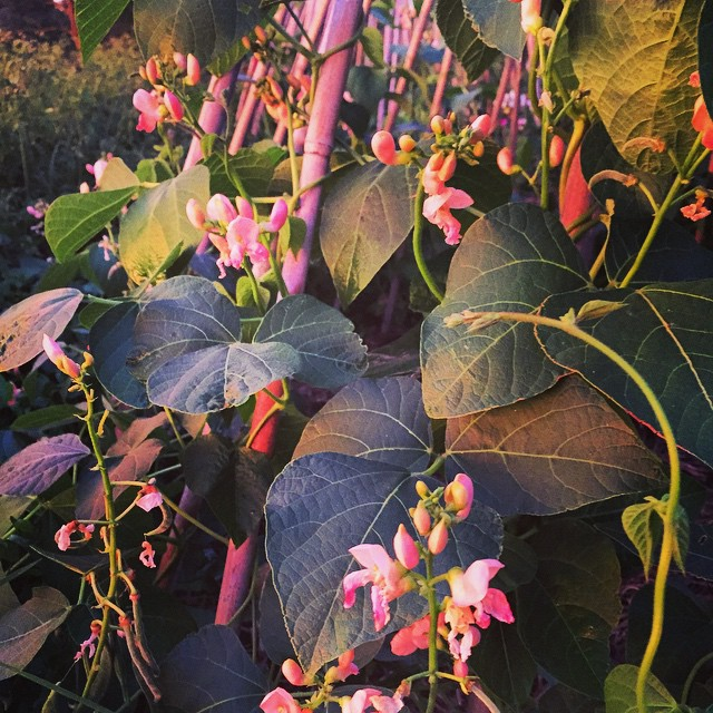 This runner bean is called 'Sunset'. I think I know why! The beautiful salmon-coloured flowers are quickly becoming delicious crunchy beans. #FoodFarm #KingsSeeds #GrowYourOwn