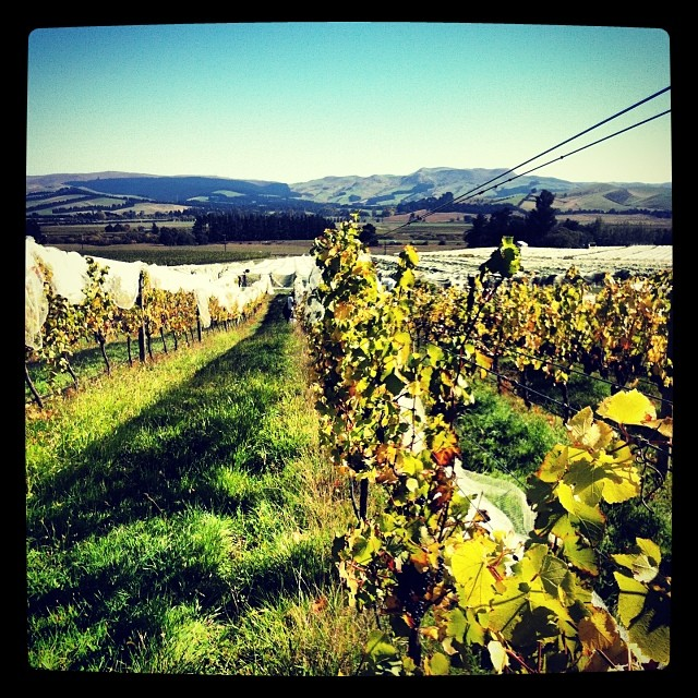 Picking Tongue in Groove #PinotNoir in the beautiful #NorthCanterbury sunshine #NZWine #V14