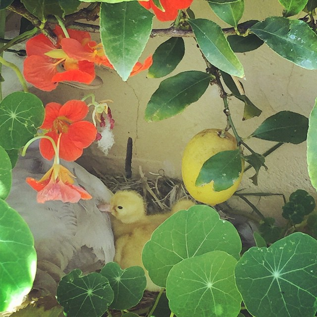 The lemon tree ducklings are hatching, and the tree is providing the perfect camouflage! #FoodFarm