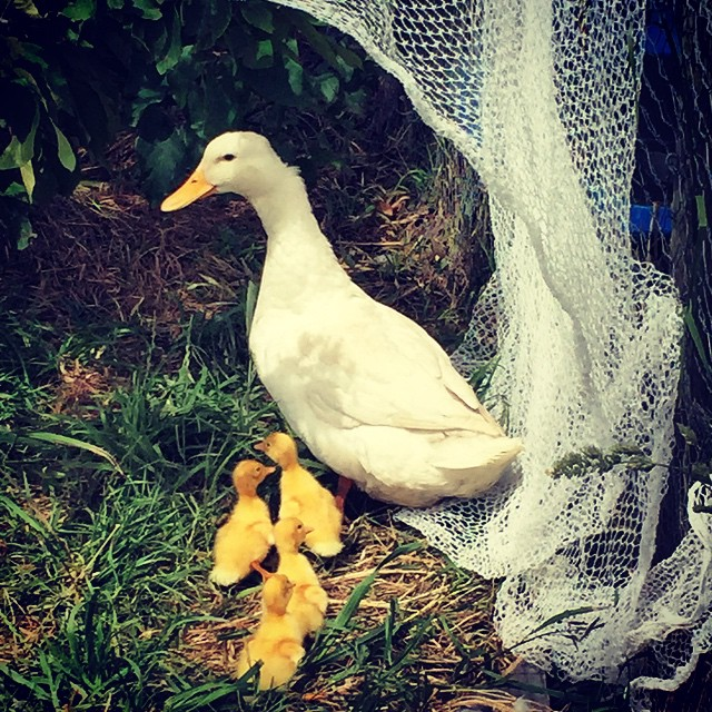 4 new baby ducklings born today on the #FoodFarm. We're up to 28 now. They're a bit distracting when there's lots of work to do!