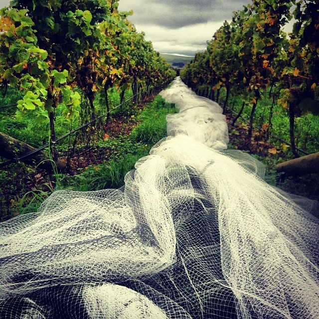 Burning arms & broken nails pulling nets off by hand so we can pick before the rain. Honestly, the shit I do for Riesling...;)