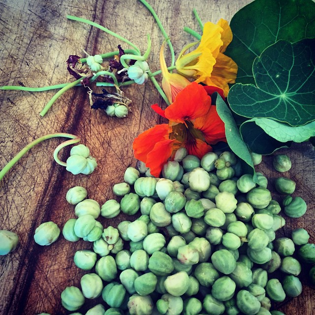 Pickling #nasturtium seeds. Also known as 'poor man's capers' but I prefer 'cool climate woman's capers'! #FoodFarm #Autumn #HarvestSeason