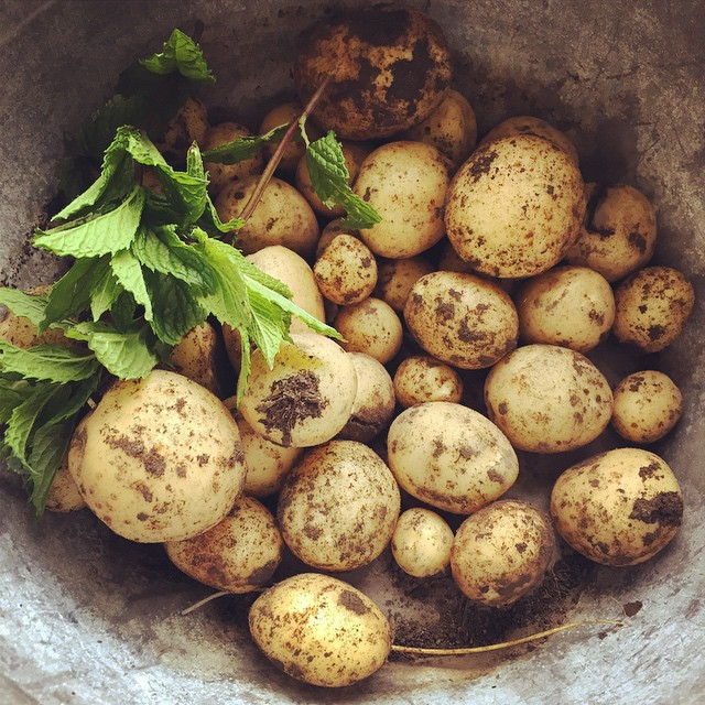 Bandicooting or tickling or stealing the first new #potatoes from the sides of the mounds. Long held family tradition and skill! #FoodFarm
