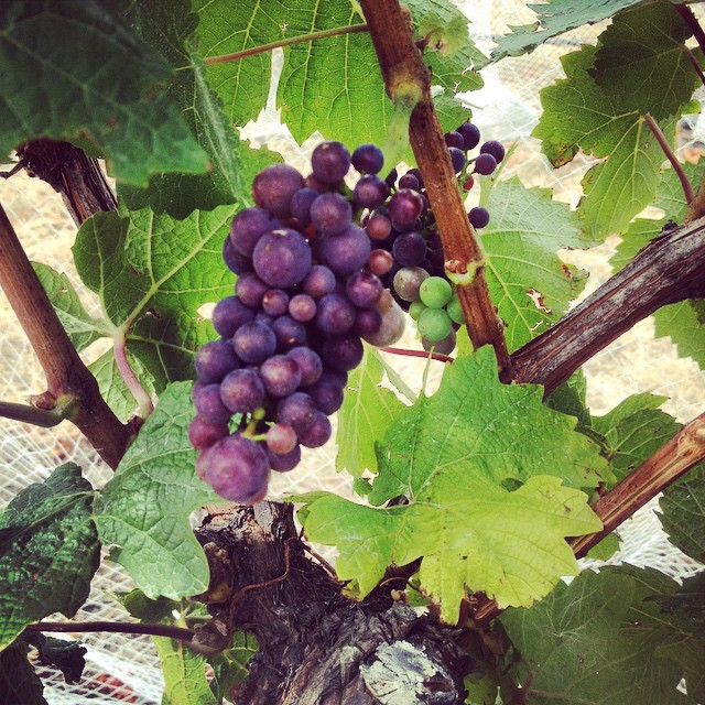 Almost through veraison (the onset of ripening) our Tongue in Groove Cabal vineyard Pinot Noir is looking exciting. Lots of small berries, it's all on over the next four to six weeks. NorthCanterbury #NZWine #PinotNoir