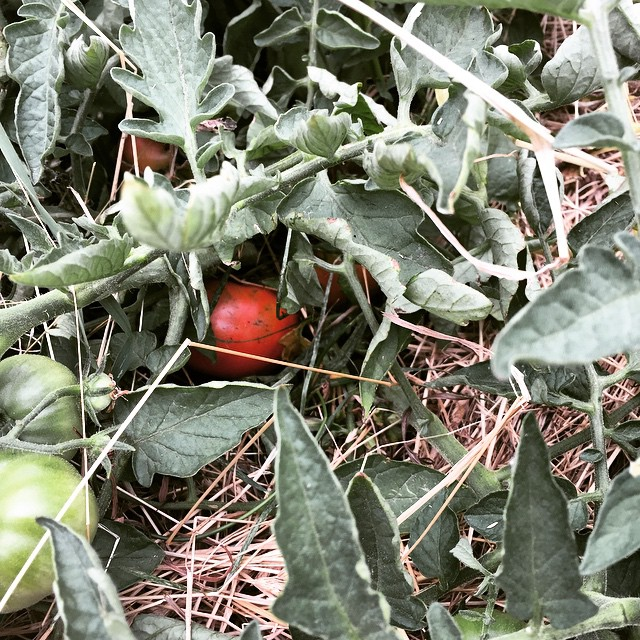 There are going to be #FoodFarm tomatoes ready for Monday's big #NorthCanterbury #Forage event. I am unreasonably excited about this! #HiddenTreasure