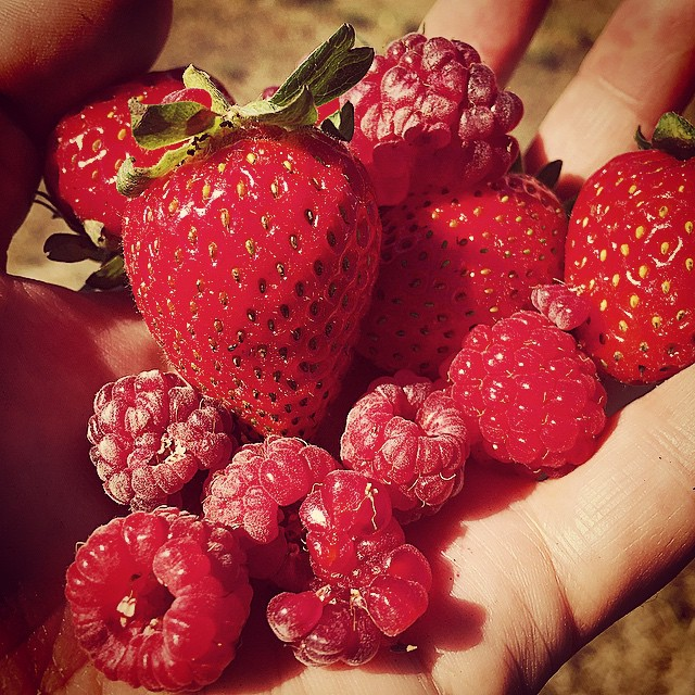 Little happies today. A handful of autumn strawberries & raspberries on passing. Don't think they'll make the children's afternoon tea plate! #FoodFarm #Autumn #HarvestSeason