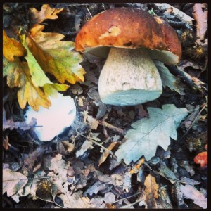 Probably our most prized wild food- Porcini.