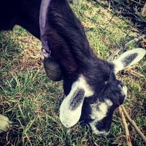 Petit Fromage the Goat