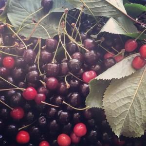 Wild North Canterbury Cherries.