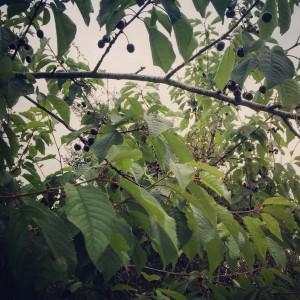 'Our' wild cherry trees.